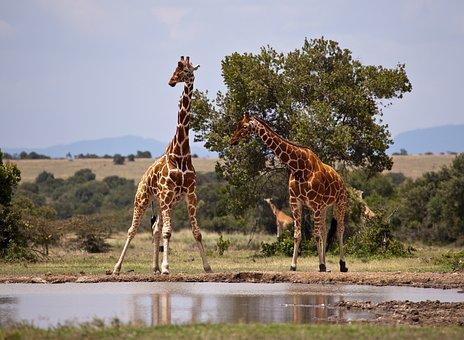Giraffe, Safari, Kenya, Samburu