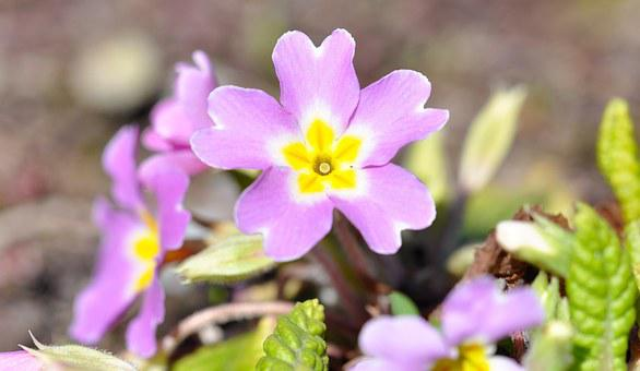 Pansy, Pink, Flower, Blossom, Bloom, Spring Flower