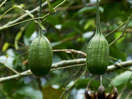Tropics, Nature, Tree, Tropical, Exotic, Fruit