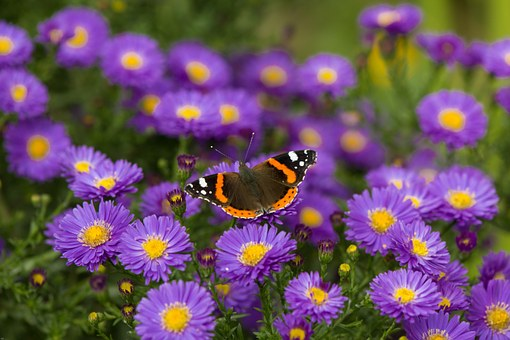 Butterfly, Admiral, Flowers, Insect, Edelfalter