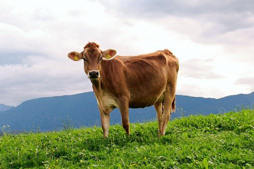 Cow, Animal, Milk Cow, Meadow, Alpine, Brown Swiss