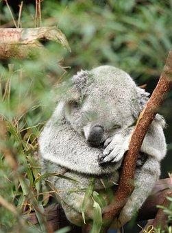 Australia, Koala, Marsupial, Animal, Wildlife, Tree