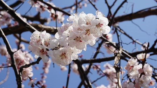 Apricot Blossom, Wood, Flowers, Spring Flowers, Plants