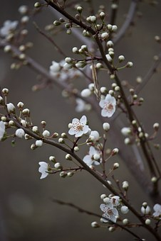 Cherry Blossom, White, Spring, Apricot, Fruit