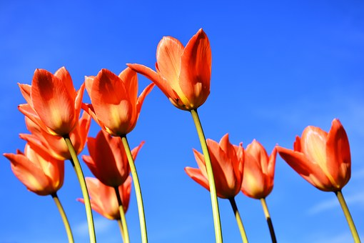 Tulips, Apricot-coloured, Sky, Blue, Spring