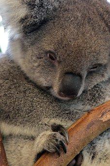 Koala, Bear, Australia, Animal, Mammal, Wild, Nature