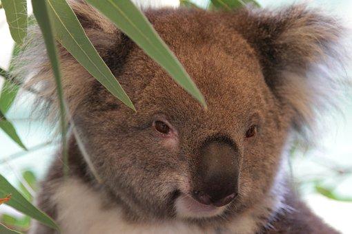 Koala, Australia, Aussie, Animal, Tree, Wild, Bear