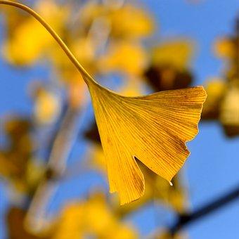 Ginkgo In The Autumn, Ginko, Ginkgo Biloba, Autumn Leaf