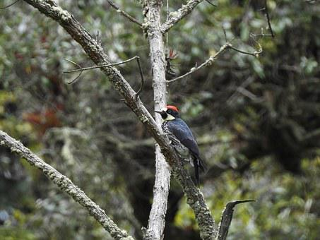 Bird, Woodpecker, Carpenter, Nature, Natural, Peak