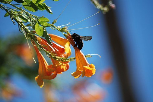 Carpenter Bee, Bee, Floral, Plant, Natural, Blossom