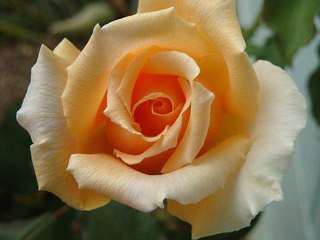 Rose, Flower, Blossom, Bloom, Apricot, Orange, Nature