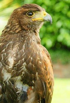 Raptor, Bird, Nature, Brown, Avian, Prey, Portrait