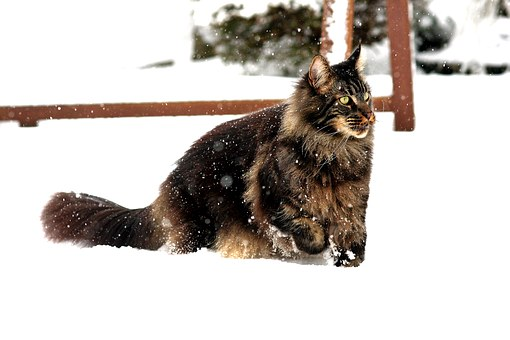 Maincoon, Snow, On Game, Hunting, Attention, Catch