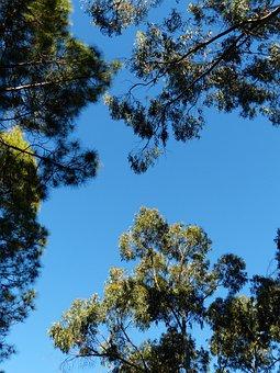 Trees, Sky, Crown, Eucalyptus, Eucalyptus Tree, Pine