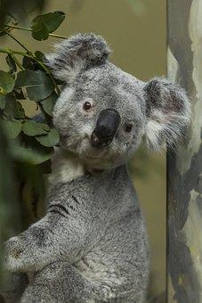 Koala, Grey, Australia, Animal, Tree, Mammal, Cute