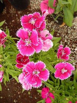 Dianthus, Carnation, Red Flowers, Flower, Garden