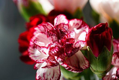 Carnation, Cultivar, Dianthus Caryophyllus