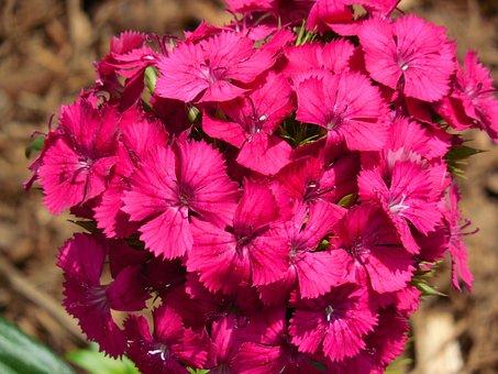 Sweet William, Dianthus, Flower, Garden, Sweet, William