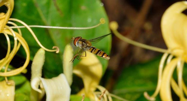 Diptera, Episyrphus, Balteatus, Flight