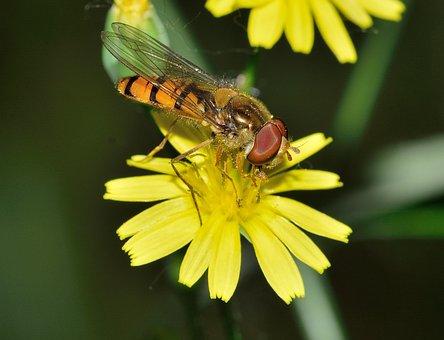 Insects, Diptera, Episyrphus, Balteatus