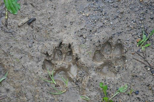Tracks, Mud, Dirt, Paw, Dog, Canine, Brown, Animal