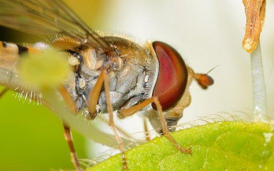 Diptera, Episyrphus, Balteatus, Macro