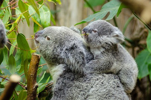 Female Koala And Her Baby, Australian Lazy, Cute
