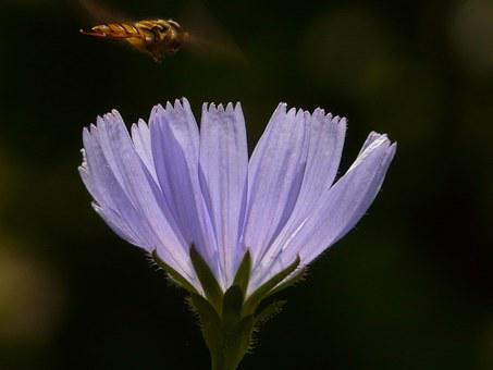 Common Chicory, Chicory, Flower, Hoverfly, Blossom