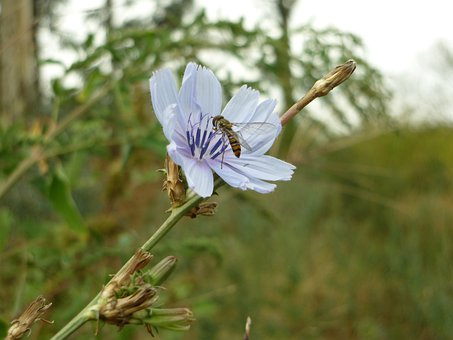 Fly Sieving, Chicory, Insect, Fly, Flower, Plant