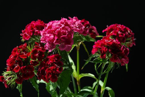Sweet William, Inflorescences, Flowers, Purple, Red