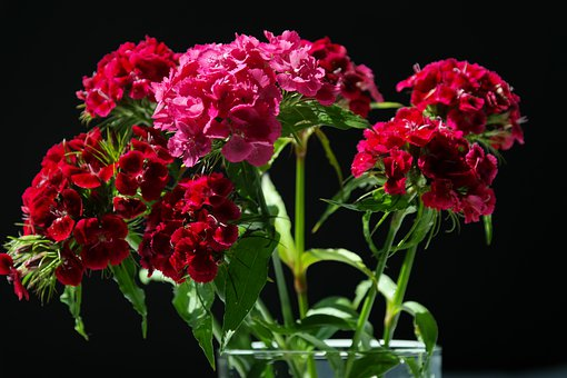 Sweet William, Inflorescences, Flowers, Red, Pink