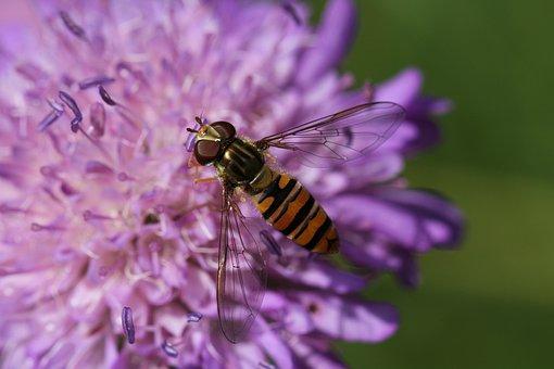 Pincushion Flower, Knapweed, Fly, Episyrphus Balteatus