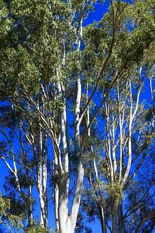Eucalyptus, Trees, Australian, Forest, Natural