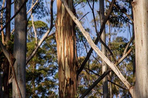 Eucalyptus, Gum Tree, Trees, Forest, Rain Forest