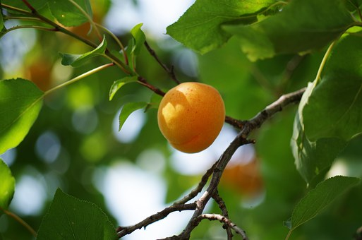 Apricot, On The Tree, Fruit