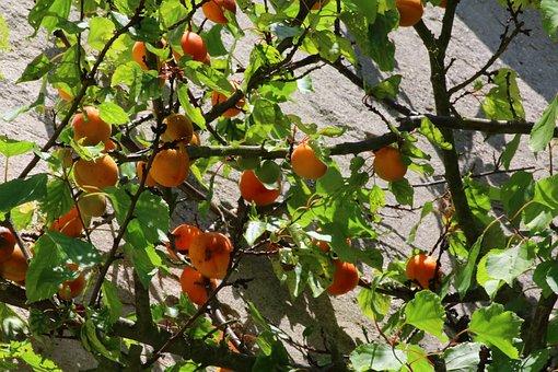 Apricot, Fruit Tree, Garden, Power, Fruit, Orchard
