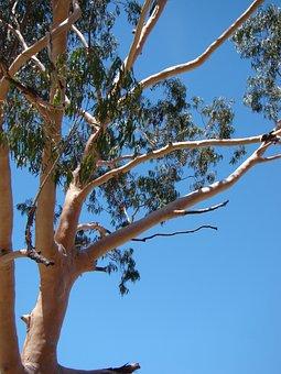 Eucalyptus, Gum Tree, Australia, Tree, Nature, Gum