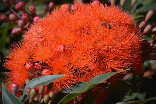 Gum Tree, Australian, Native, Outdoors, Nature