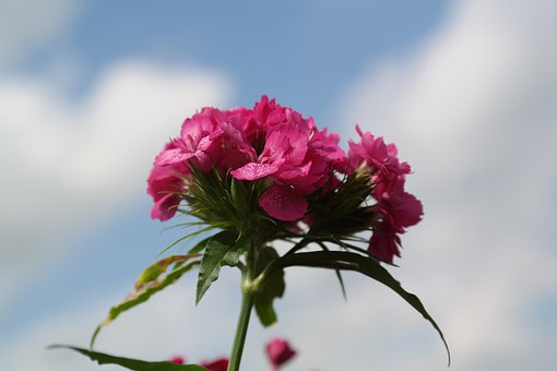 Sweet William, Inflorescence, Blossom, Bloom, Flower