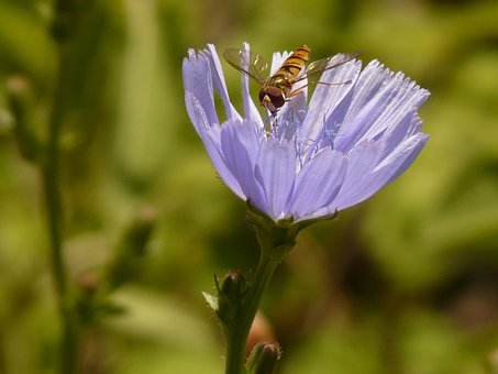 Winter Florea, Insect, Hoverfly, Common Chicory