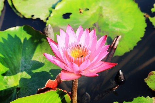 Lotus, Flowers, Thailand, Background, Beautiful, Bloom