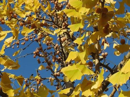 Ginkgo Biloba, Ginkgo, Maidenhair Tree, Leaves, Fruits