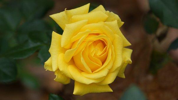 Yellow, Flowers, Nature, Open, Beautiful, Macros, Flora