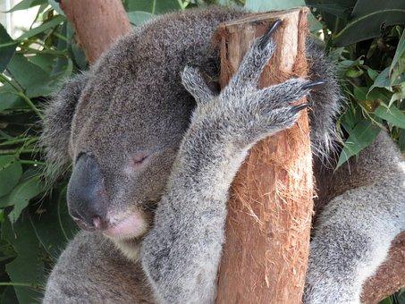 Koala, Sleeping, Australia, Tree, Animal, Nature