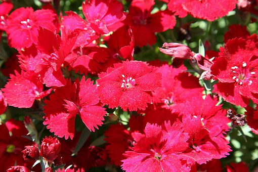 Dianthus Flower, Carnation, Flowers, Nature, Plants