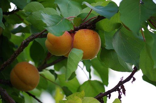Apricots, Fruit, Orange, On The Tree