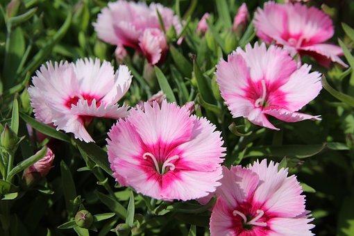 Paeraengyi, Dianthus Flower, Flowers, Spring, Nature