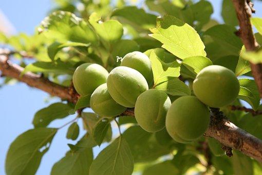 Plum, Peach, Spring, Apricot, Fruit, Nature, Plants