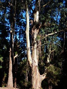 Tree, Bark, Peeled Off, Peel, Eucalyptus Trees, Log