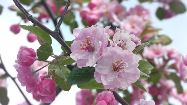 Apricot, Pink, Flower, Blooms, Nature, Beauty, Flora
